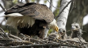 A bald eagle feeds two eaglets a fish in a nest over the Raccoon River at Gray's Lake Park in Des Moines, Iowa, US