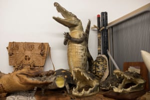 Crocodile taxidermy