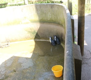 Penguins shelter in an empty pool last summer. Photograph: Captive Animals' Protection Society