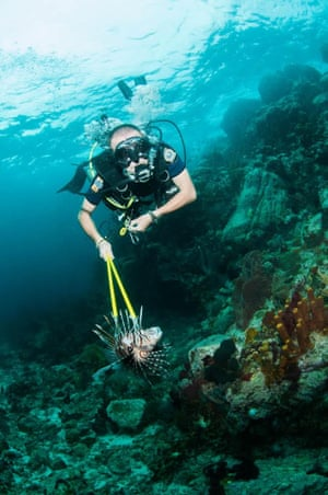 Hunting lionfish in waters off the Windward Islands, where divers used a multiple-barbed harpoon to spear the fish.