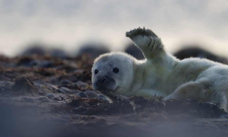 A grey seal pup in South Walney, Cumbria