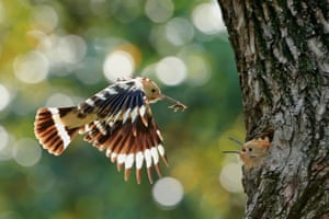 A Eurasian hoopoe (Upupa epops) feeds her young at a park in Shanghai, China