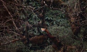 A red panda in Singalila national park, India.