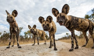 African wild dogs at Hwange National Park in Zimbabwe