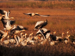 Bar-headed geese at Caohai wetland in Weining county of Bijie City, China
