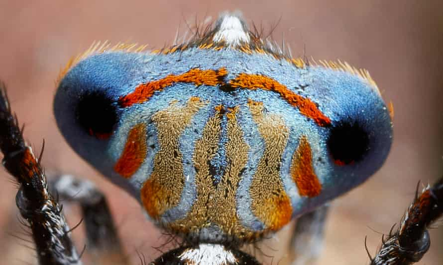 One of seven new species of peacock spiders.
