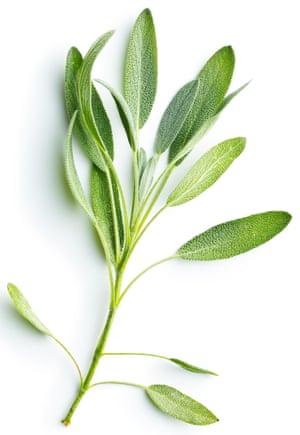 Sage (Salvia officinalis) on white background