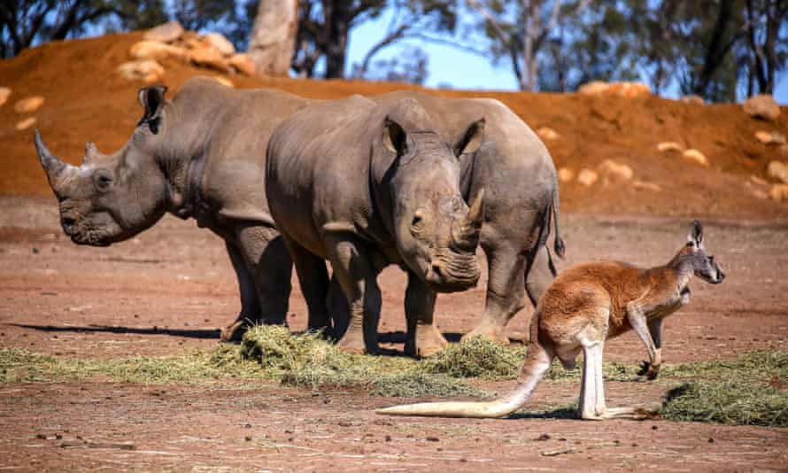 A kangaroo stands next to a pair of White Rhinos at Taronga Western Plains Zoo