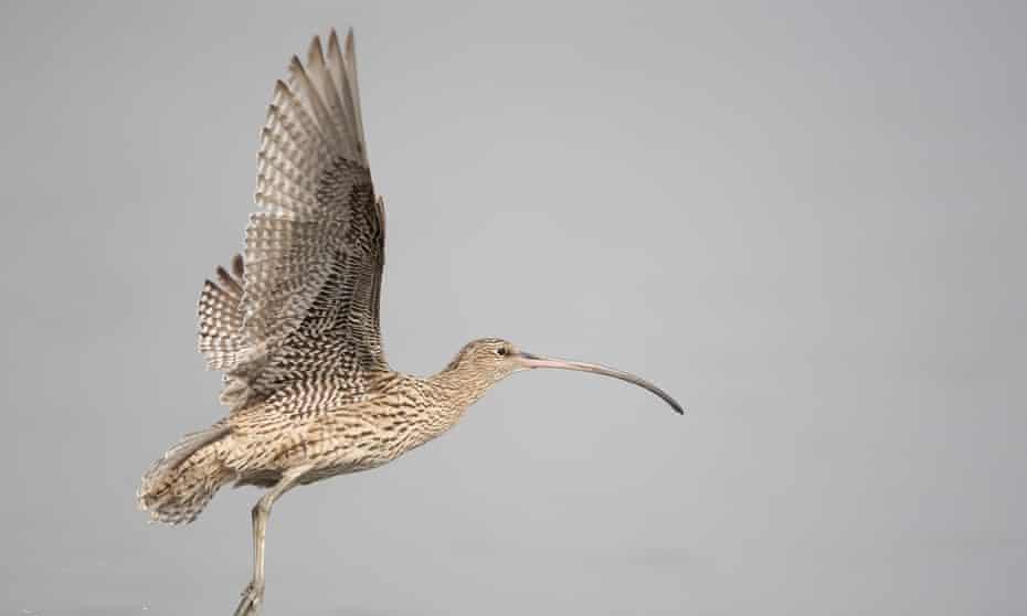 An eastern curlew in flight
