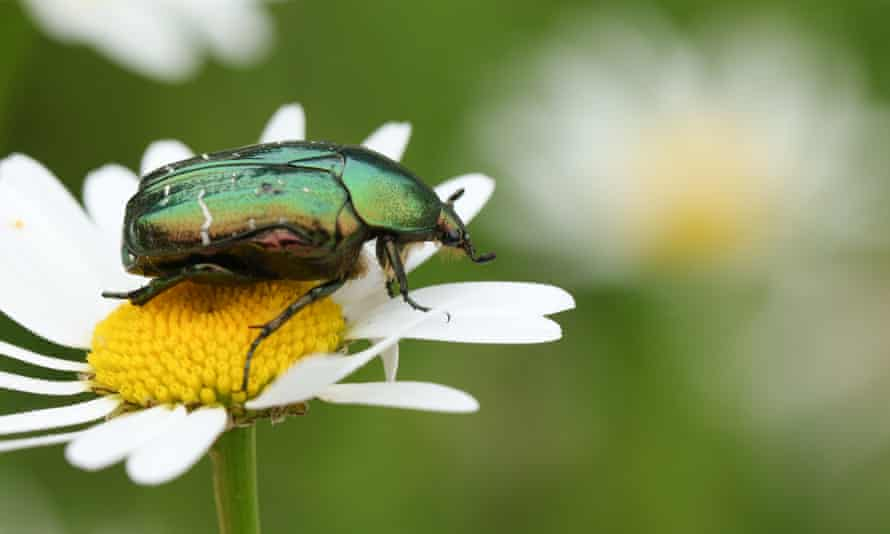 A rose chafer