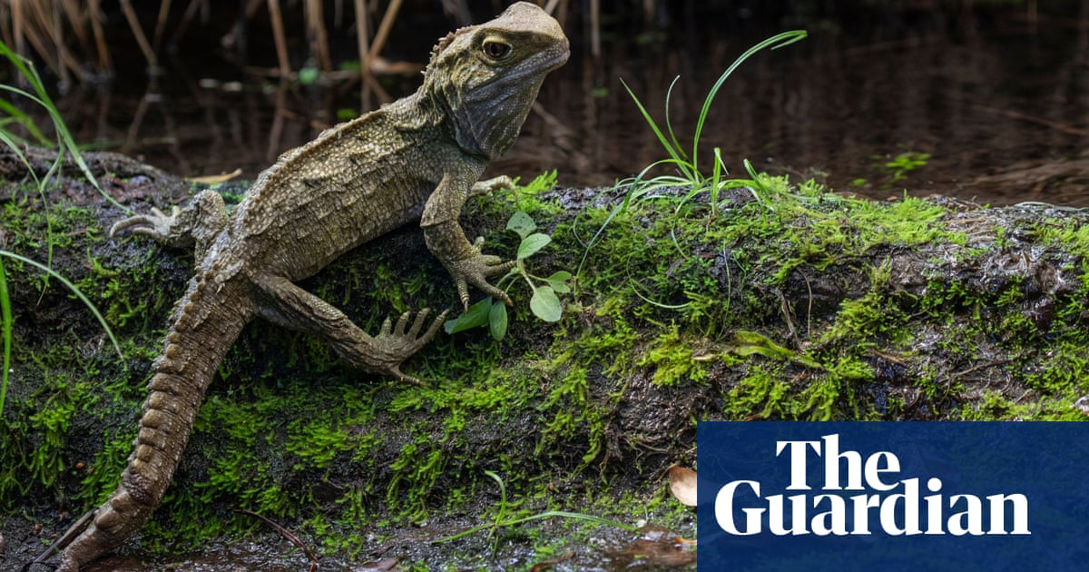 Meet the tuatara, the sluggish 'living fossil' with the fastest sperm in the reptile world