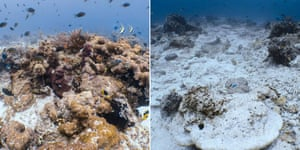 Healthy corals just outside the impact zone (left) compared with those destroyed in the impact