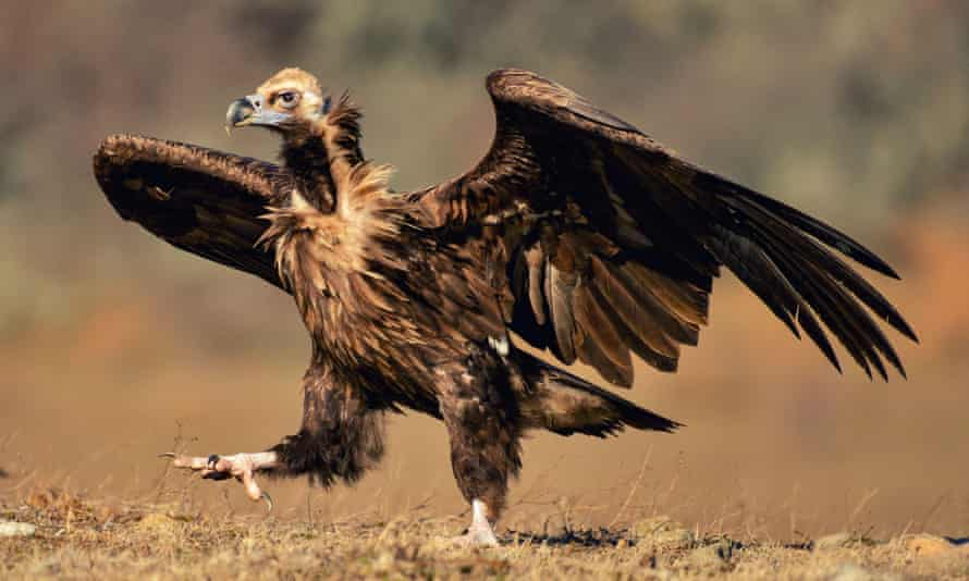 A cinereous vulture