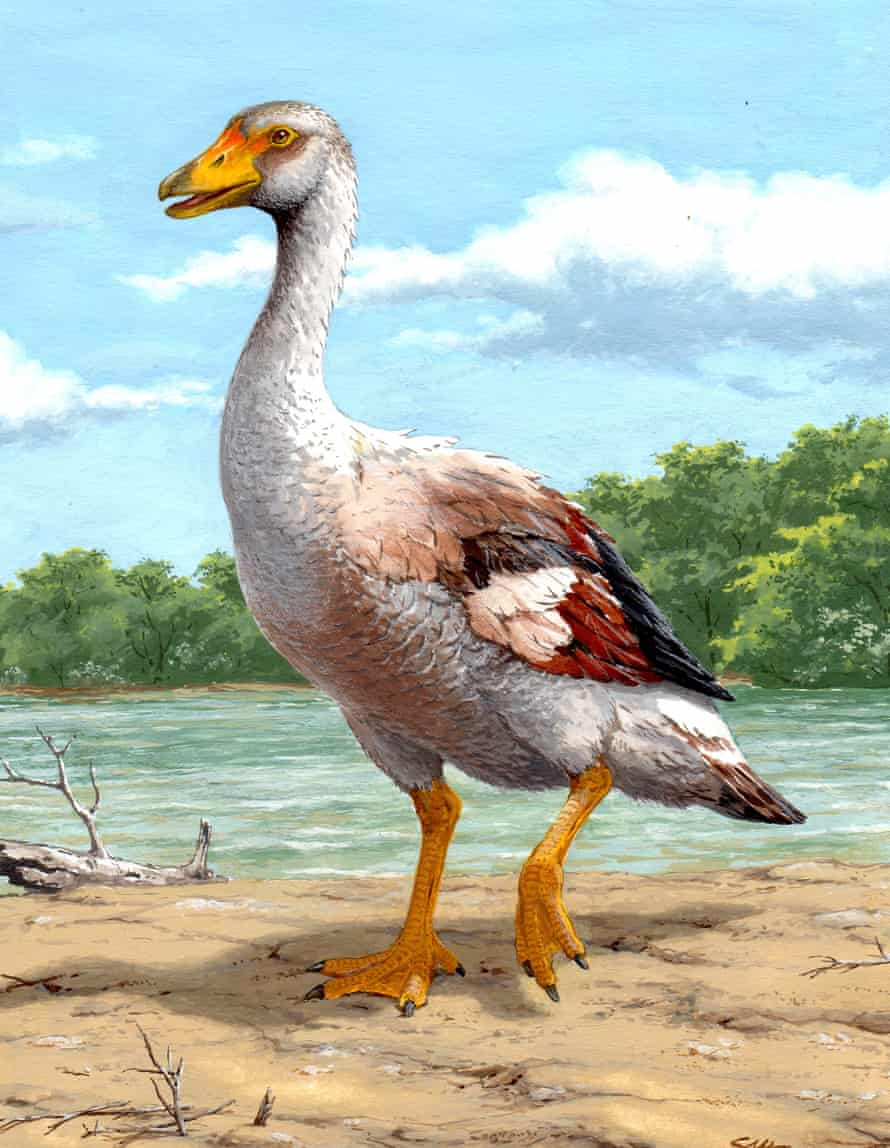 Reconstruction of the extinct, flightless giant goose from Gargano (Italy), Garganornis ballmanni, estimated to have weighted 22 kilograms.