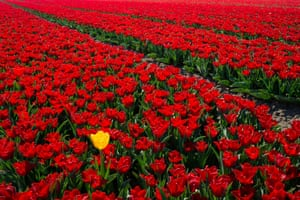 Flevoland, The NetherlandsA yellow tulip emerges from a large plantation of red tulips in the Flevoland region of The Netherlands