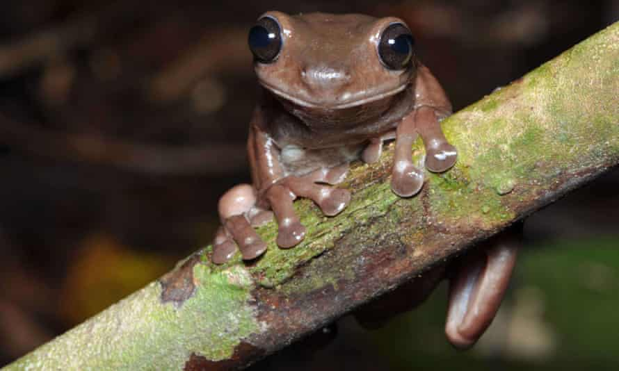 The 'chocolate frog', Litoria mira, which an Australian scientist discovered in New Guinea swamps.