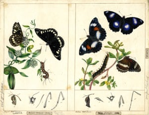 Common Australian crow butterfly by Harriet Scott (left) and common eggfly butterfly by Helena Scott (right)