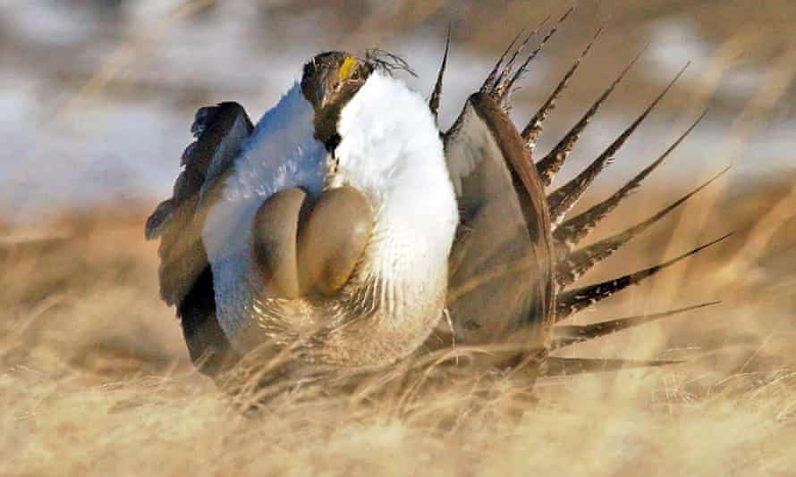 Rare species such as the greater sage grouse that do a mating dance at the Malheur national wildlife refuge, occupied by the militia, have already been harmed by widespread cattle grazing on high-desert plains across the west.