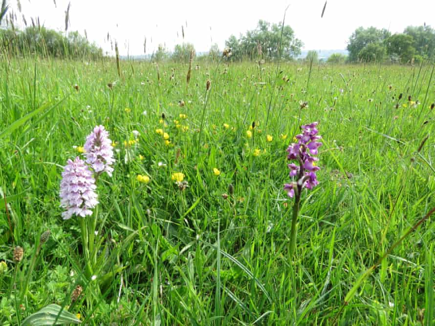 Two heath spotted orchids, left, and a green-winged orchid