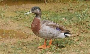 Trevor the duck