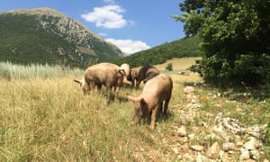Maiale brado, the wild pigs of the region.