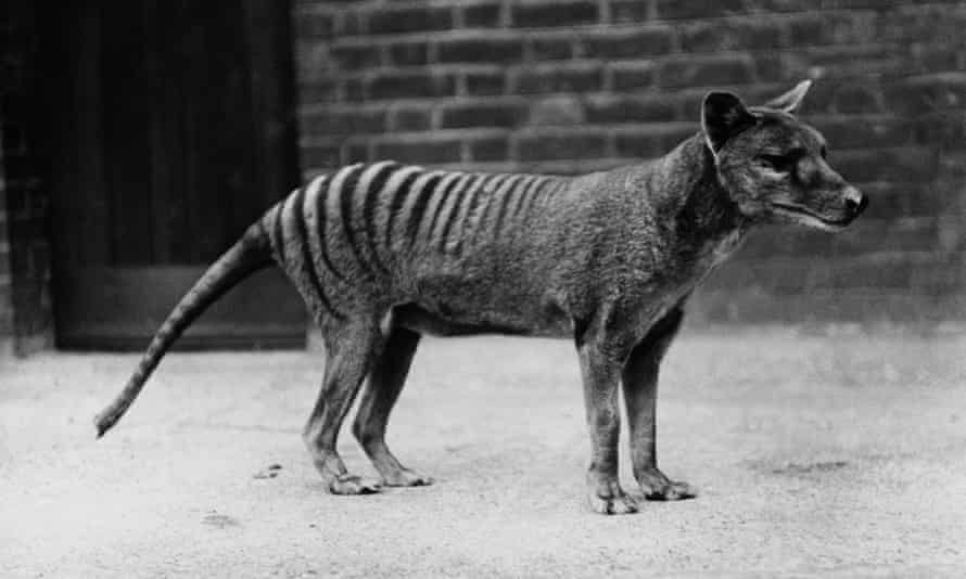 Back from the dead … a clone of the Tasmanian tiger could walk the Earth again, 80 years after it was declared extinct.
