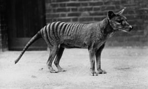 Tasmanian Tiger, or thylacine (Thylacinus cynocephalus) in captivity, circa 1930.