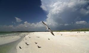 Black skimmer on Tigertail Beach, Marco Island, Florida Gulf Coast