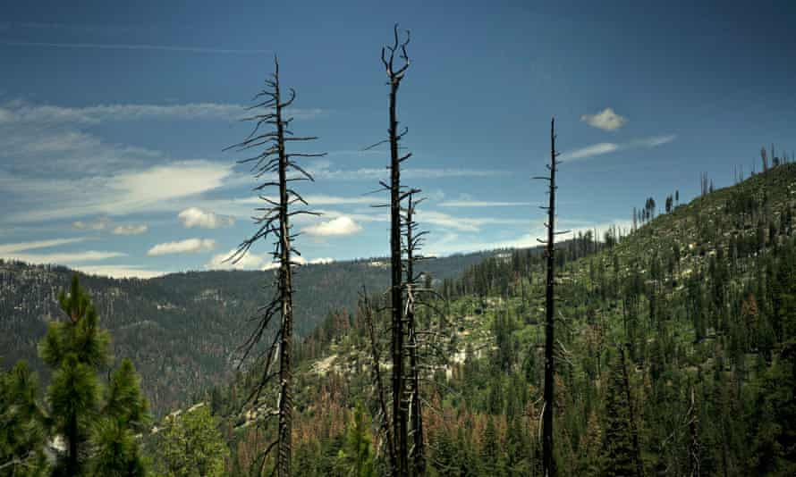 Dead trees, such as these seen in Yosemite national park, increase the risk of catastrophic wildfires.