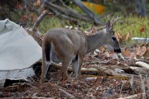 An endangered key deer picks its way through debris following Hurricane Irma in Big Pine Key, Florida, US