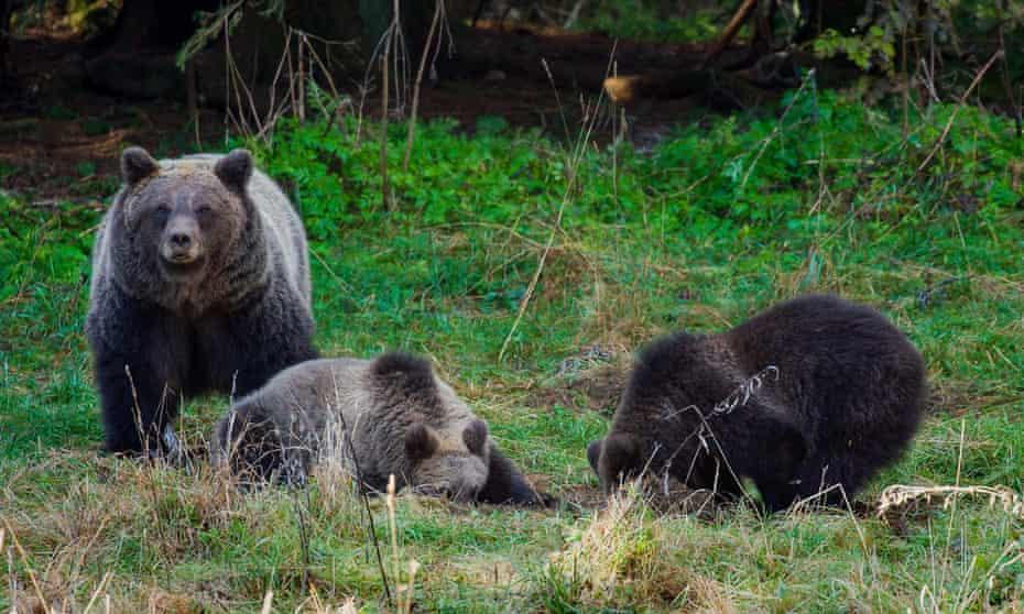 Brown bears in Gorski Kotar