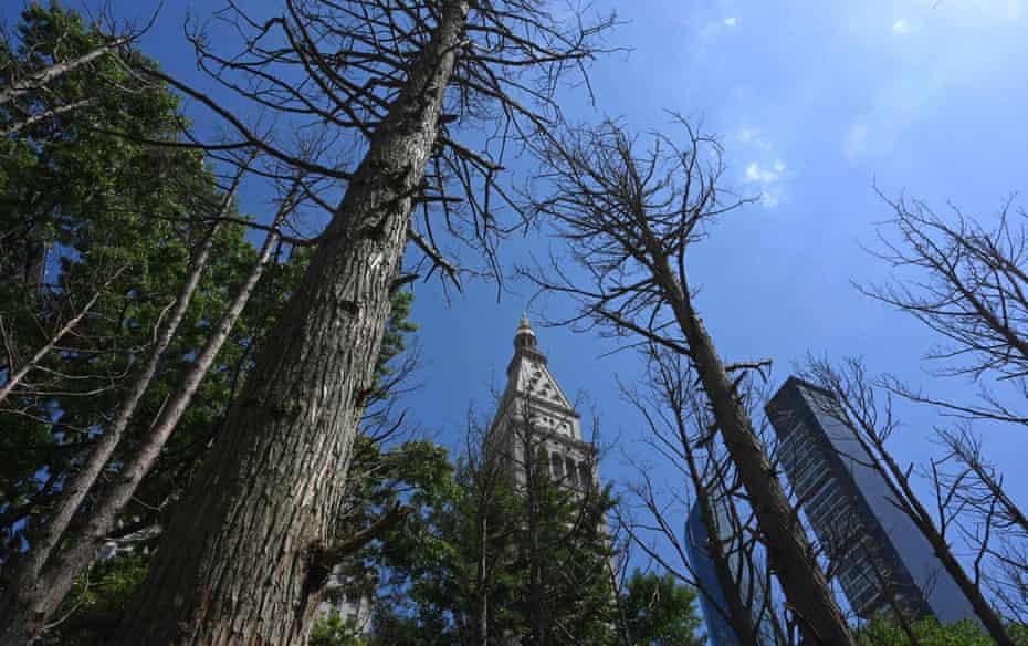 Warning ... Maya Lin installed 49 dead Atlantic White Cedar trees in Madison Square Park in New York City last month.
