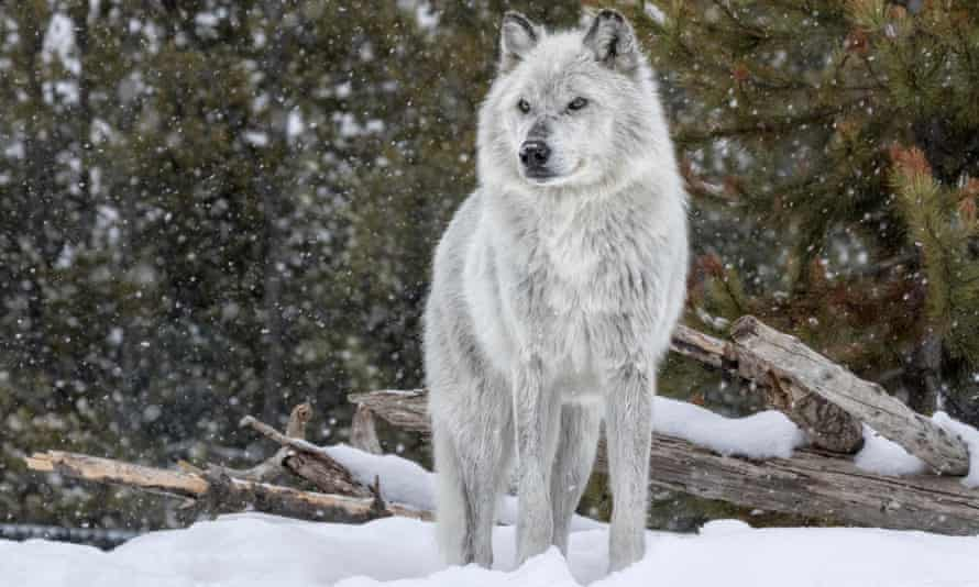 Between 1995 and 1997, 41 wolves were reintroduced to Yellowstone park. Their return transformed the landscape and spurred a global 'rewilding' effort.
