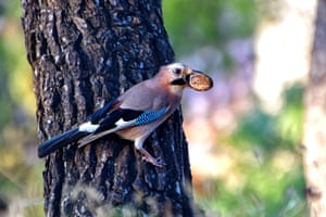 A magpie holds a nut in its beak, in Peloponnese, southern Greece
