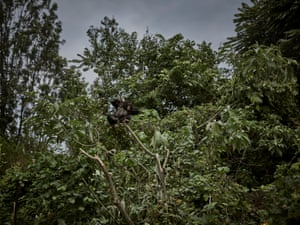Conservation authorities have created a safe haven for threatened chimpanzees and several other species of monkey. Orphaned by poaching, saved from the pet or bushmeat trade, rescued primates are often traumatised and medically vulnerable. Here, an orphaned baby chimpanzee rests in a tree at Lwiro Primates centre in Lwiro, South Kivu. Chimpanzees rescued from poachers are cared for by human caretakers to provide a simulation of their natural behaviour.