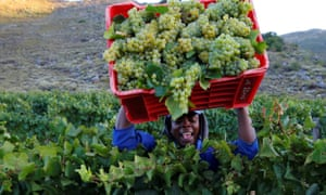 A worker harvests grapes.