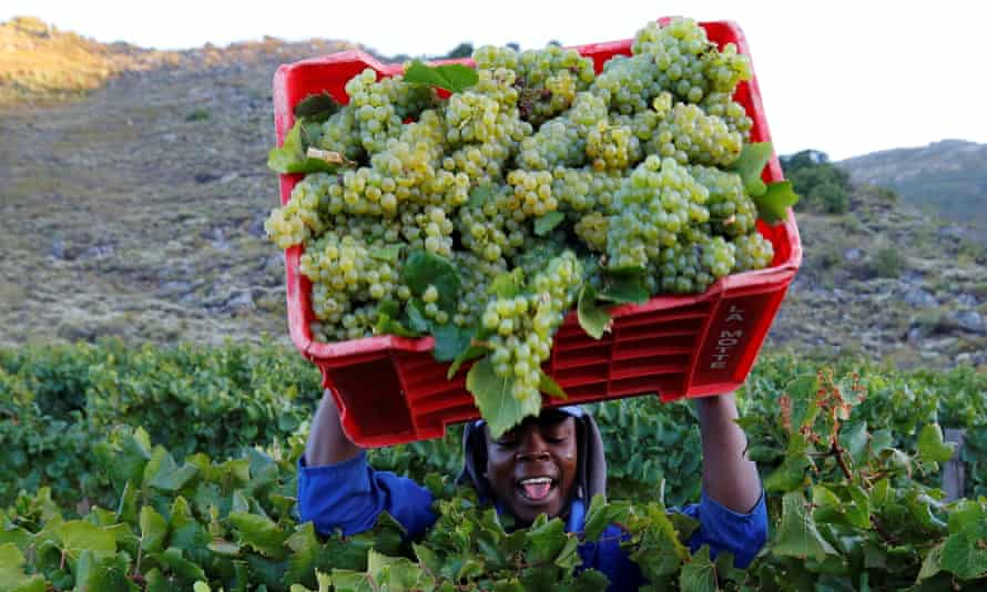 A worker harvests grapes in South Africa