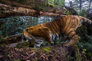 A wild Bengal tiger (Panthera tigris tigris) captured on camera trap in corridor eight at an altitude of 3,540 metres in Trongsa, Bhutan.
