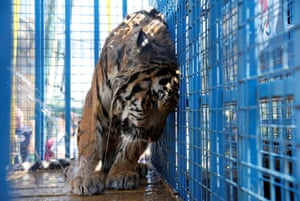 A tiger, one of thirteen animals transported from a zoo in the Syrian city of Aleppo, in a cage at Al Ma'wa wildlife reserve in the city of Jerash, near Amman, Jordan