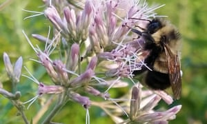 A rusty patched bumblebee which the US Fish and Wildlife Service has proposed listing for federal protection.