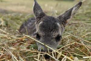 A newborn European roe deer near in the small village of Toledillo in Soria, Spain
