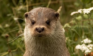 An adult male European otter.