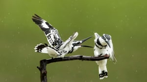 Two pied kingfishers rest on a branch in Xindian Town, Fuzhou, south-eastern China