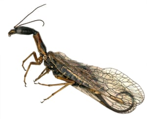 The 'tail' of the snakefly (Agulla sp.) is actually an ovipositor, a specialised body part used by females to lay eggs