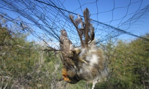The research identified a record number of illegal 'mist' nets set to trap migrating birds including blackcaps, robins and garden warblers.