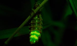 A female common glow-worm, in Sussex, England.