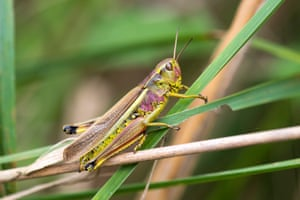 The large marsh grasshopper (Stethophyma grossum) has declined due to the loss of bogs, mires and fens through drainage, as well as the overgrazing and burning of remaining sites