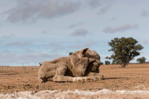 A sheep too weak to eat a feed of cottonseed on a farm outside Coonabarabran during drought conditions in New South Wales