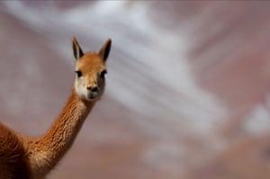 A vicuña near the Salar del Hombre Muerto, 4,000 metres above sea level in Argentina.
