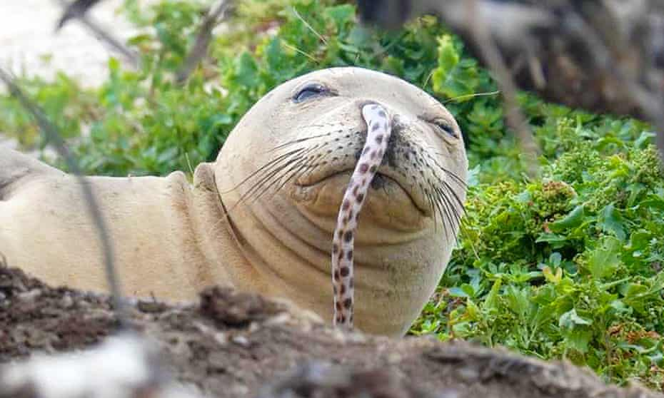 'Having a rotten fish inside your nose is bound to cause some problems,' said Charles Littnan, the lead scientist at Noaa's Hawaiian monk seal research program.